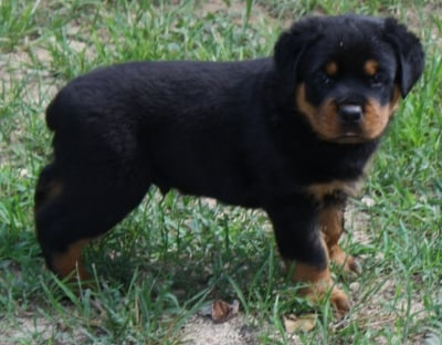 German Rottweiler Breeder