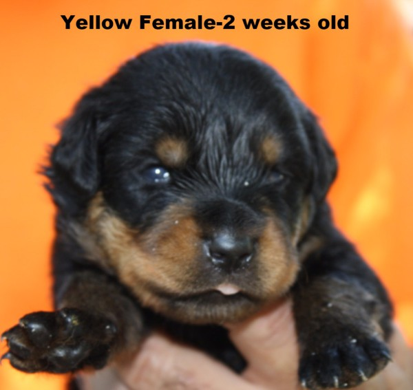Yellow Female
